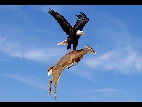 ワシの狩りの様子
