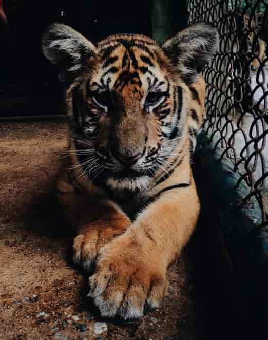 こちらをじっと見つめるトラ