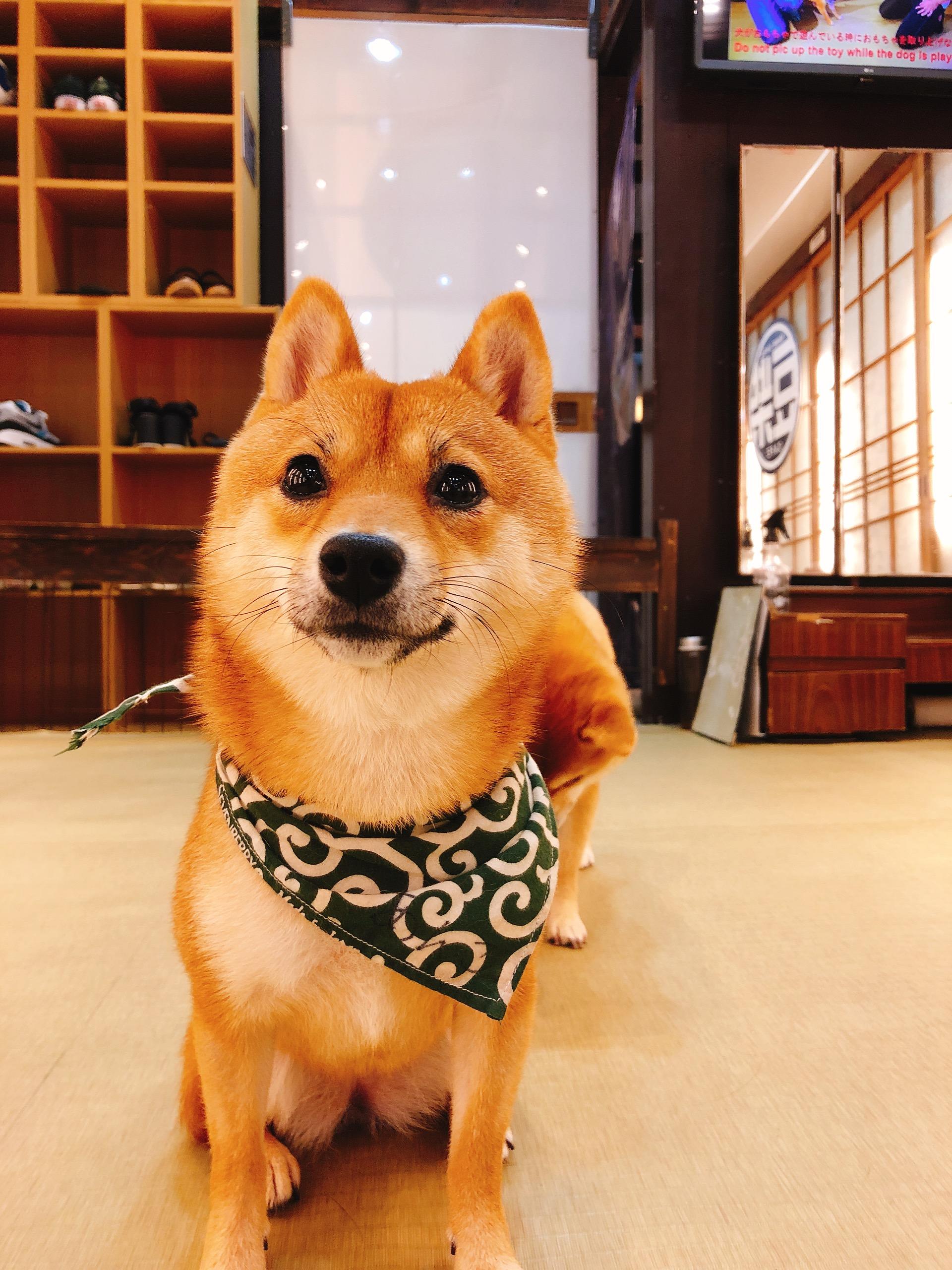 京都豆柴カフェ豆柴